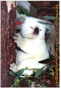 Koala_raro