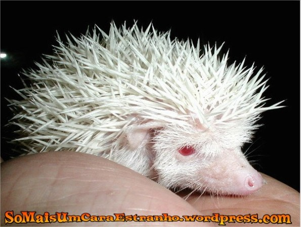 albino-hedgehog-animals-albino_big