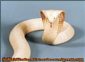 albino_monacled_cobra