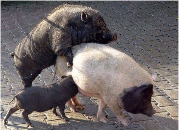 no-good-timing-for-a-meal-pigs-sex-funny_big