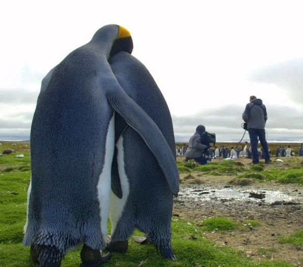 polar-couple-penguins-love_big