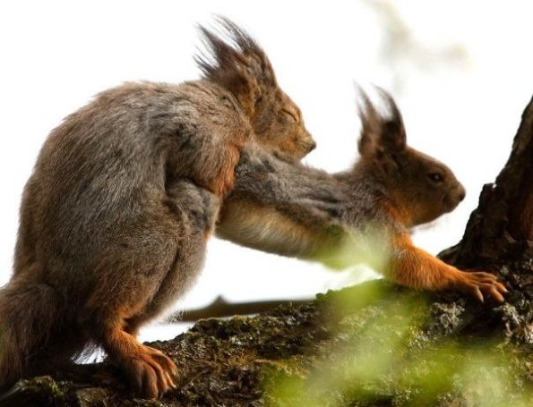 squirrel-style-sex-squirrels_big