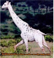 white-giraffe