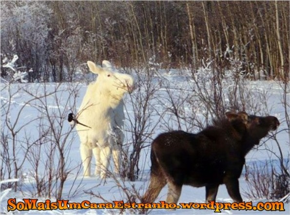 white-on-white-albino-winter-moose_big