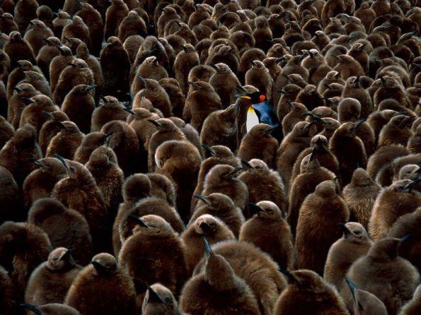 grown-up-penguins-birds_big